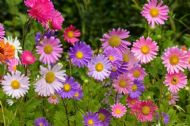 Aster Single Rainbow Mix 70 Seeds, perennial